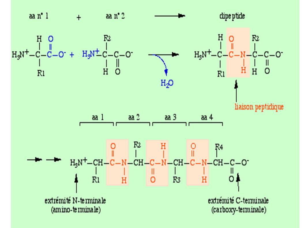 Forme tendue TForme relachée R Site de l université de MONTPELLIER