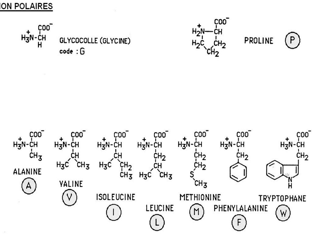 L hème se trouve dans le coeur hydrophobe de la molécule