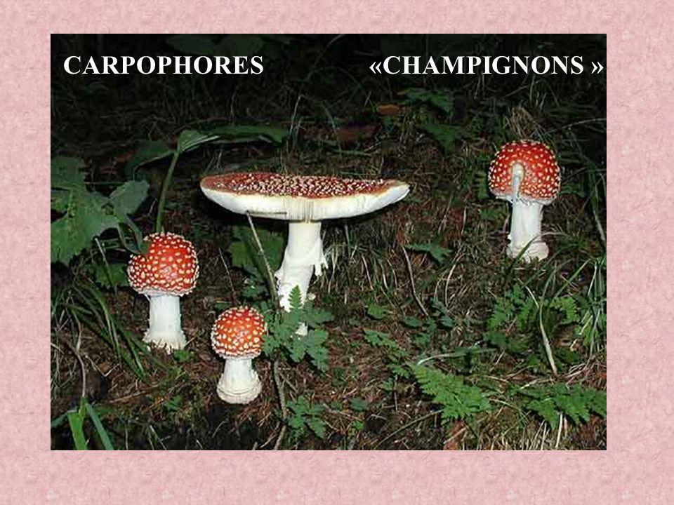 CARPOPHORES «CHAMPIGNONS »
