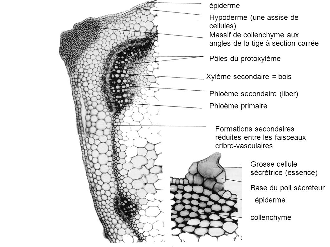 épiderme Hypoderme (une assise de cellules) Massif de collenchyme aux angles de la tige à section carrée Pôles du protoxylème Xylème secondaire = bois