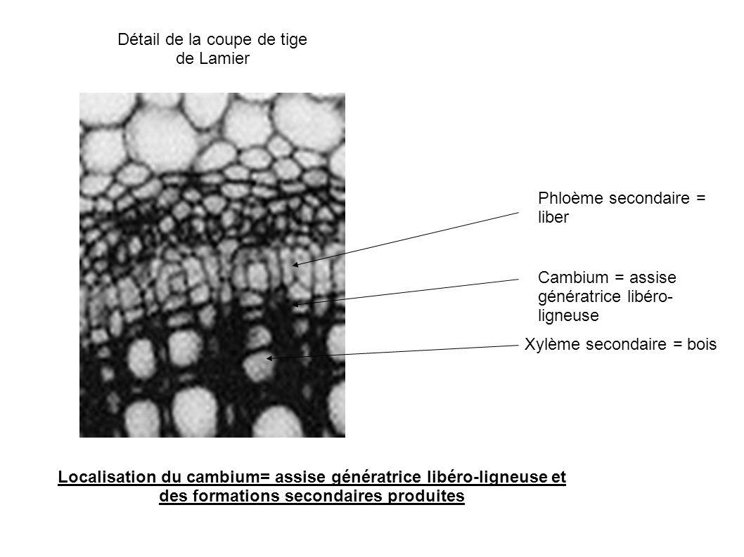 Localisation du cambium= assise génératrice libéro-ligneuse et des formations secondaires produites Cambium = assise génératrice libéro- ligneuse Phlo