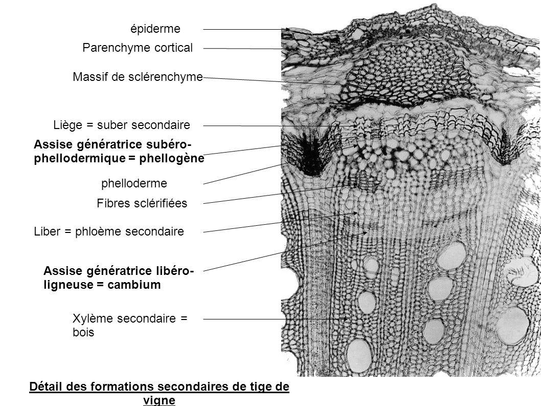 Détail des formations secondaires de tige de vigne Assise génératrice libéro- ligneuse = cambium Xylème secondaire = bois épiderme Massif de sclérench