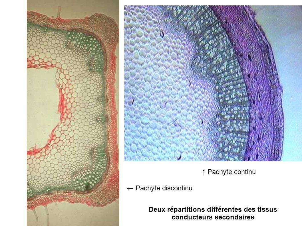 Deux répartitions différentes des tissus conducteurs secondaires Pachyte discontinu Pachyte continu