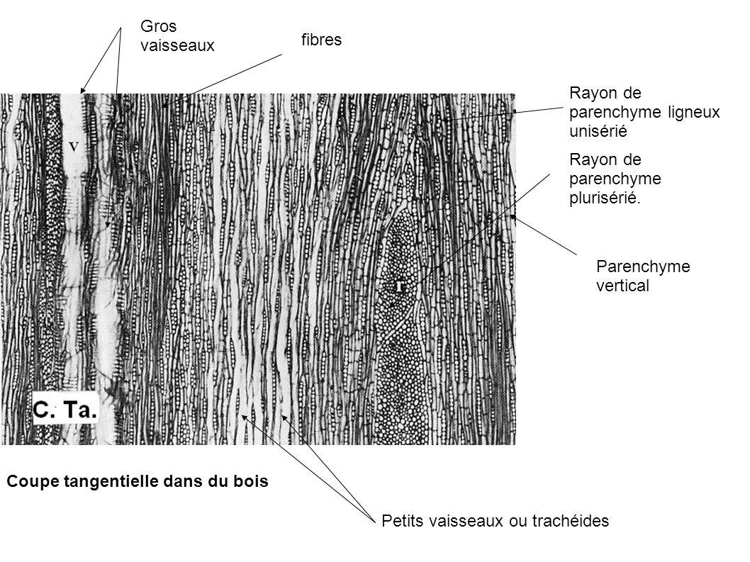 Gros vaisseaux fibres Petits vaisseaux ou trachéides Rayon de parenchyme ligneux unisérié Rayon de parenchyme plurisérié. Coupe tangentielle dans du b