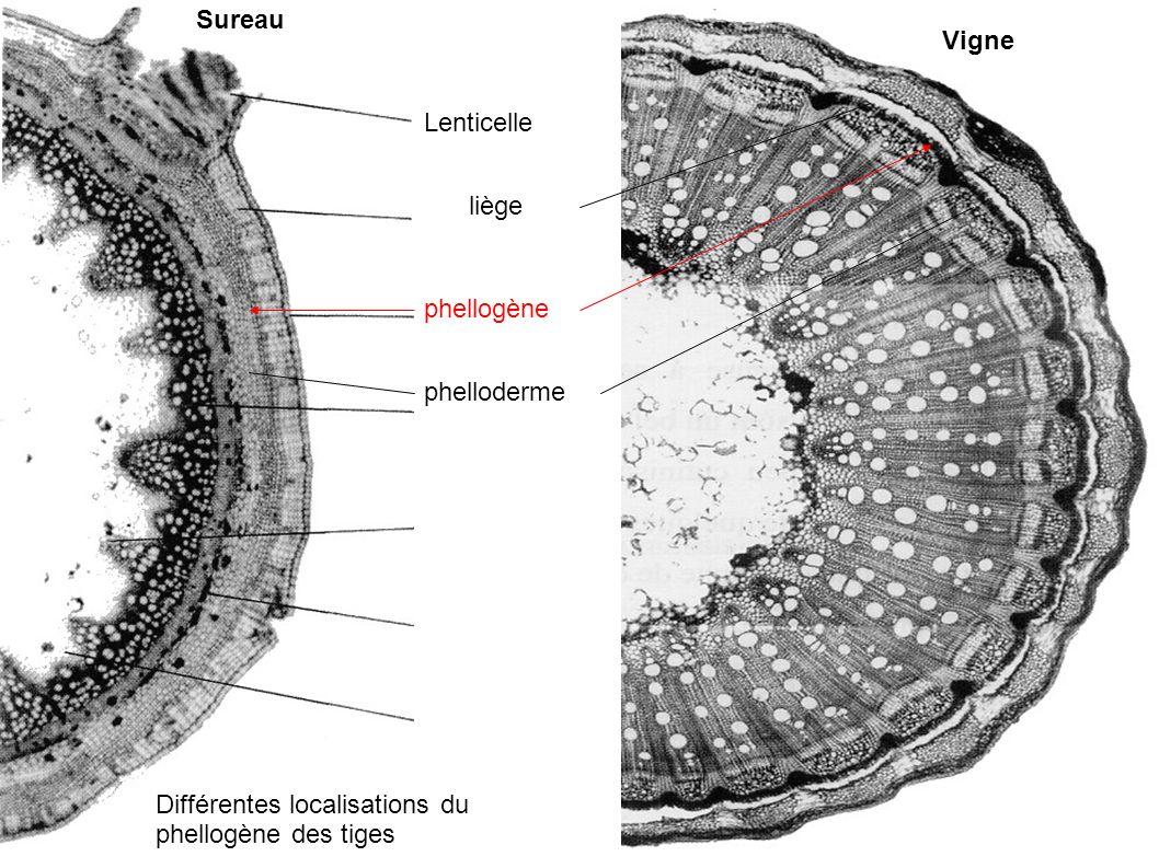 liège Différentes localisations du phellogène des tiges phellogène phelloderme Sureau Vigne Lenticelle