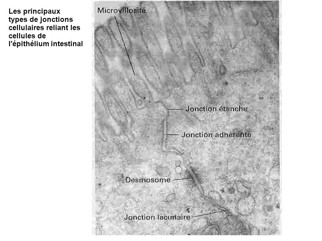 Les principaux types de jonctions cellulaires reliant les cellules de l'épithélium intestinal