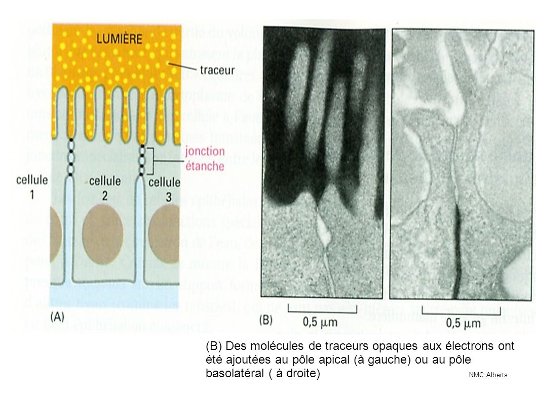 (B) Des molécules de traceurs opaques aux électrons ont été ajoutées au pôle apical (à gauche) ou au pôle basolatéral ( à droite) NMC Alberts