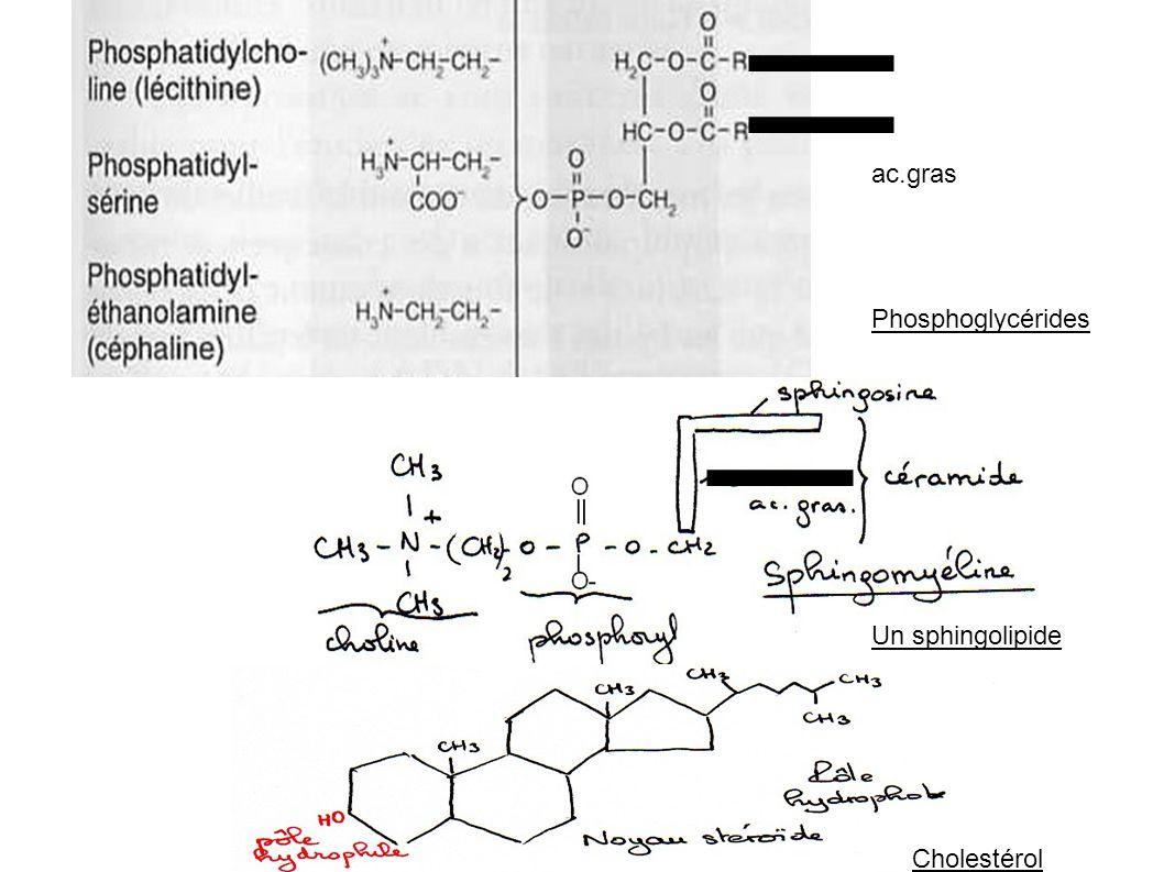 ac.gras Phosphoglycérides Un sphingolipide Cholestérol