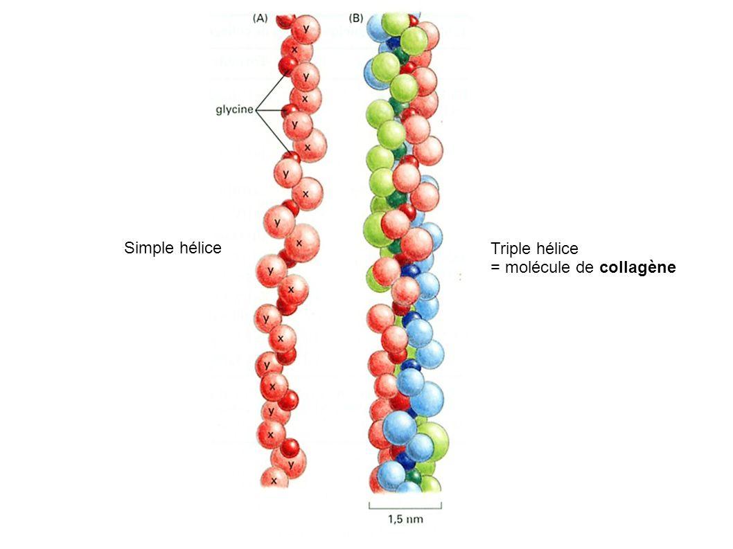Simple hélice Triple hélice = molécule de collagène