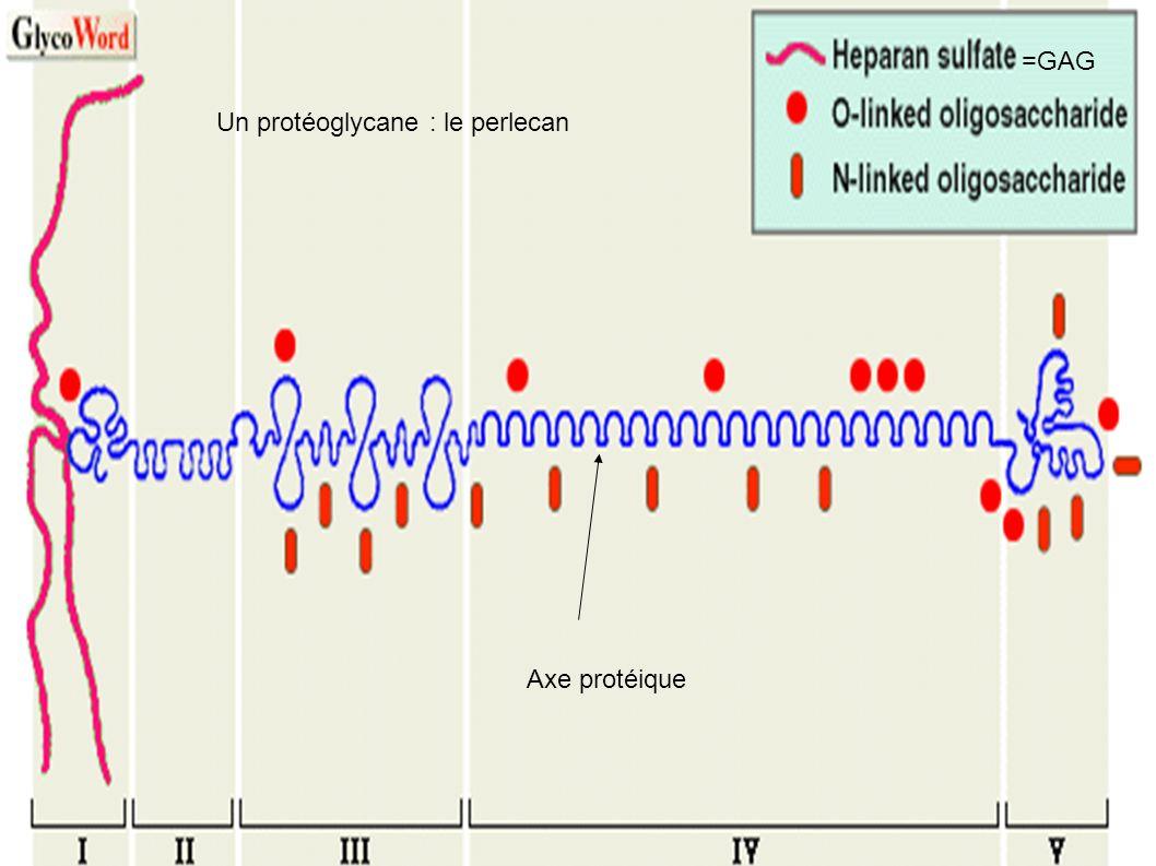 Axe protéique =GAG Un protéoglycane : le perlecan