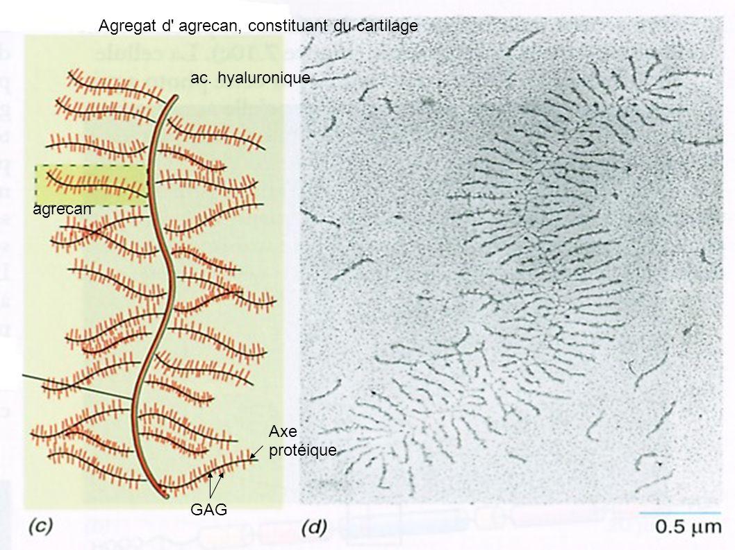 Agregat d' agrecan, constituant du cartilage agrecan ac. hyaluronique GAG Axe protéique