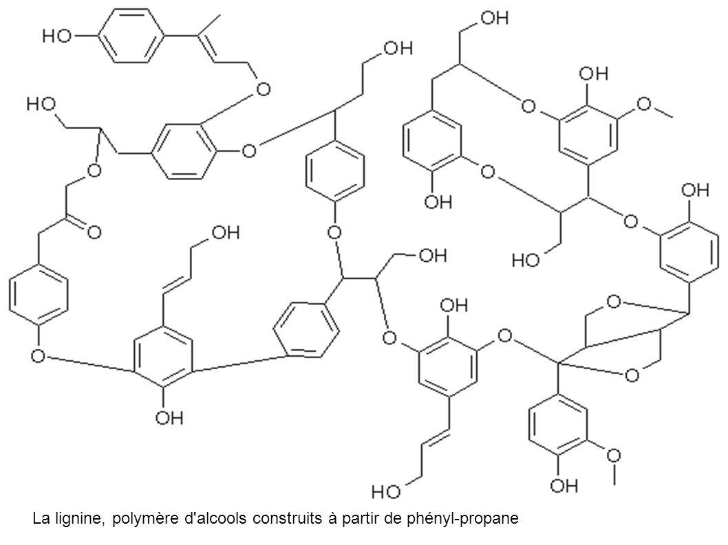 La lignine, polymère d'alcools construits à partir de phényl-propane
