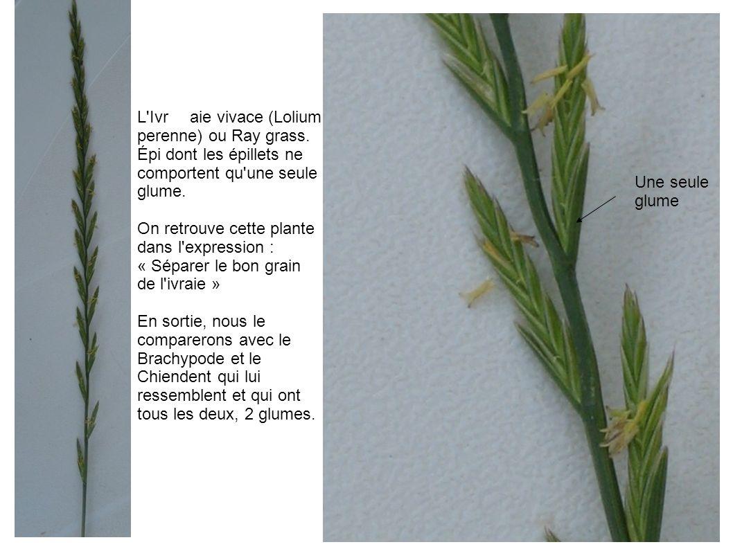 L'Ivraie vivace (Lolium perenne) ou Ray grass. Épi dont les épillets ne comportent qu'une seule glume. On retrouve cette plante dans l'expression : «