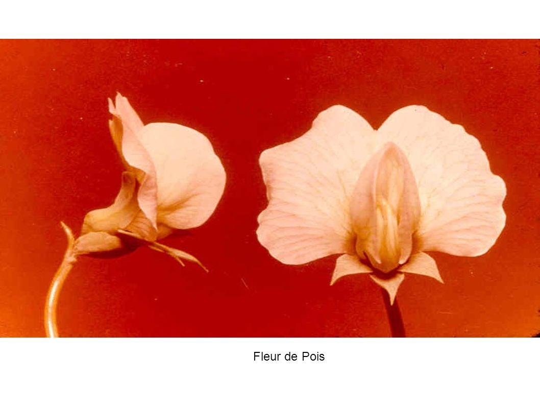 Fleur de Pois