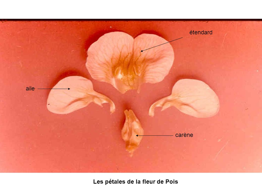 aile étendard carène Les pétales de la fleur de Pois