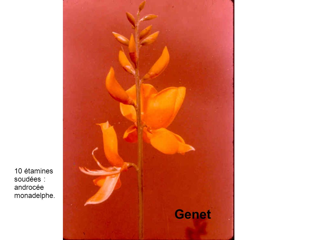 10 étamines soudées : androcée monadelphe. Genet
