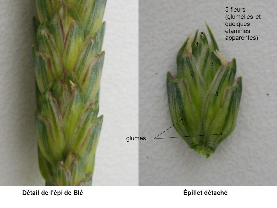 Détail de l'épi de BléÉpillet détaché glumes 1 2 3 4 5 5 fleurs (glumelles et quelques étamines apparentes)