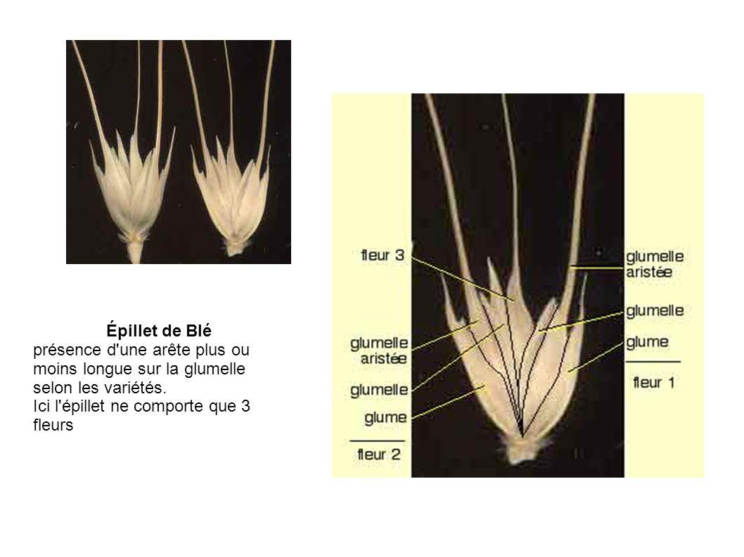 Épillet de Blé présence d'une arête plus ou moins longue sur la glumelle selon les variétés. Ici l'épillet ne comporte que 3 fleurs