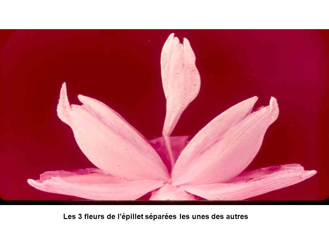 Les 3 fleurs de l'épillet séparées les unes des autres