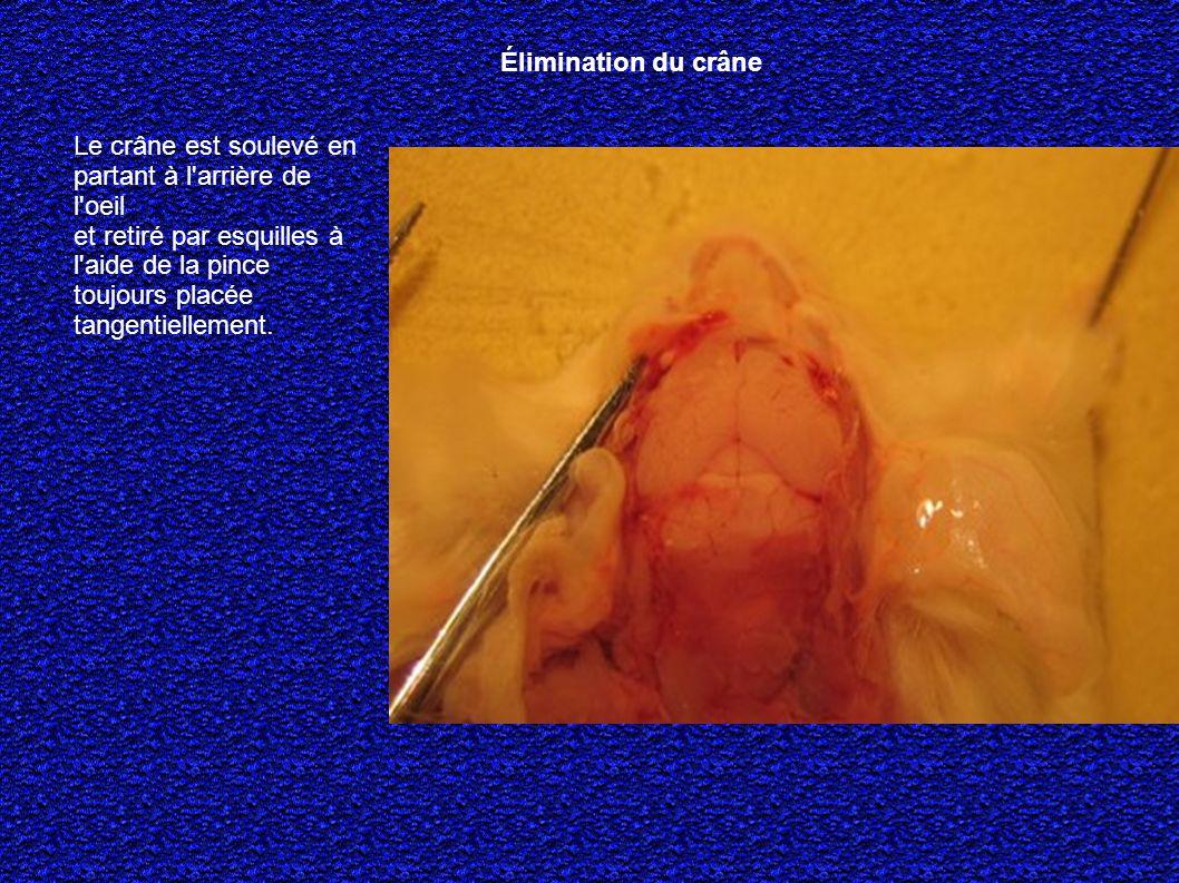 Le crâne est soulevé en partant à l arrière de l oeil et retiré par esquilles à l aide de la pince toujours placée tangentiellement.