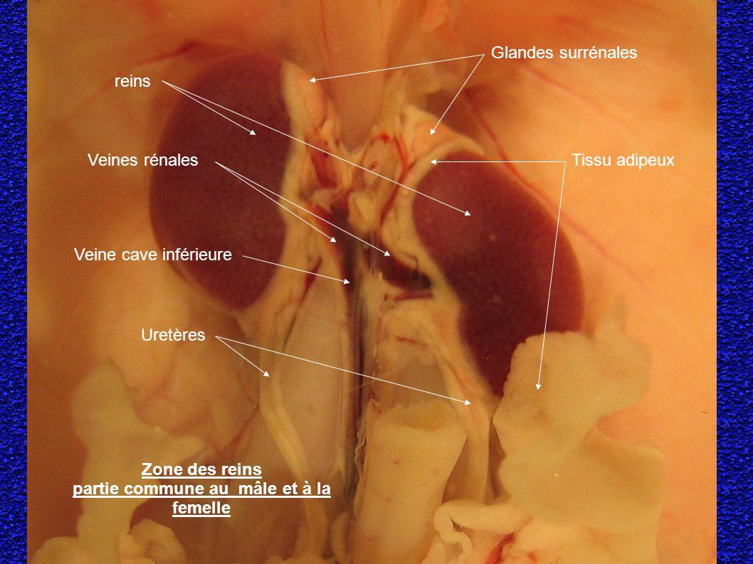 Zone des reins partie commune au mâle et à la femelle reins Glandes surrénales Veine cave inférieure Veines rénales Uretères Tissu adipeux