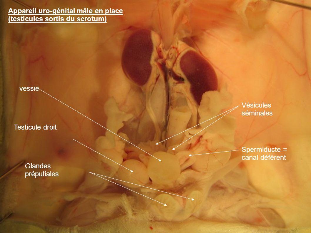Appareil uro-génital mâle en place (testicules sortis du scrotum) Testicule droit vessie Glandes préputiales Vésicules séminales Spermiducte = canal déférent