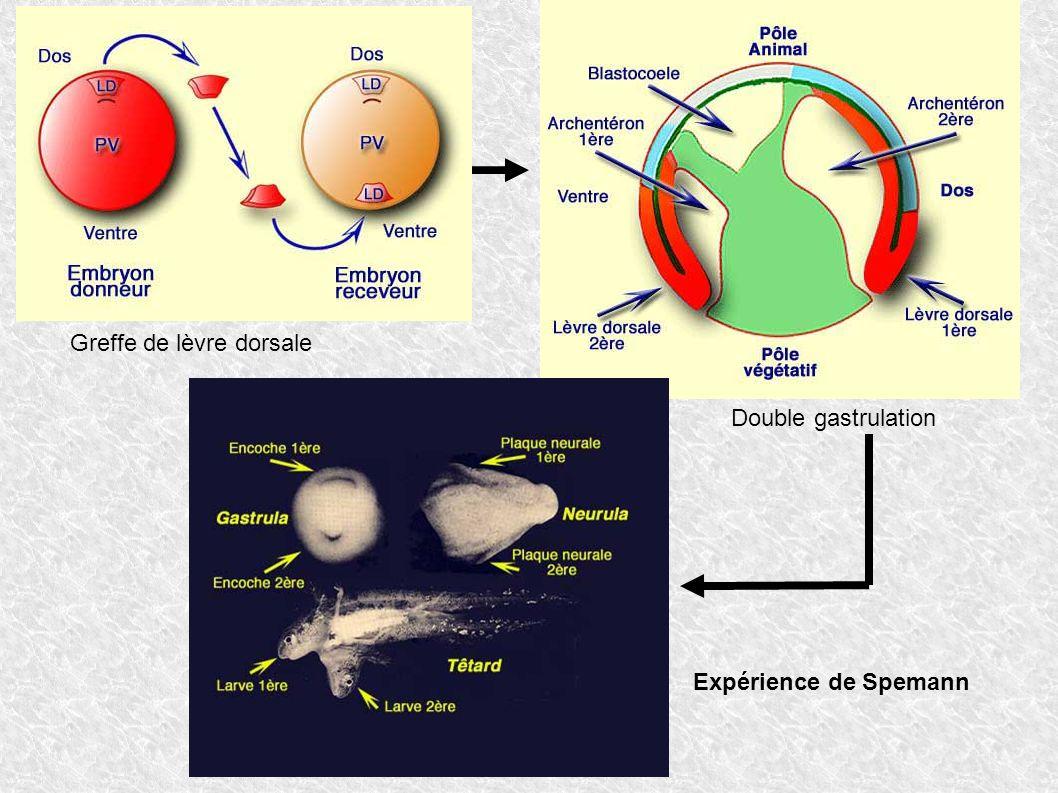 Expérience de Spemann Greffe de lèvre dorsale Double gastrulation