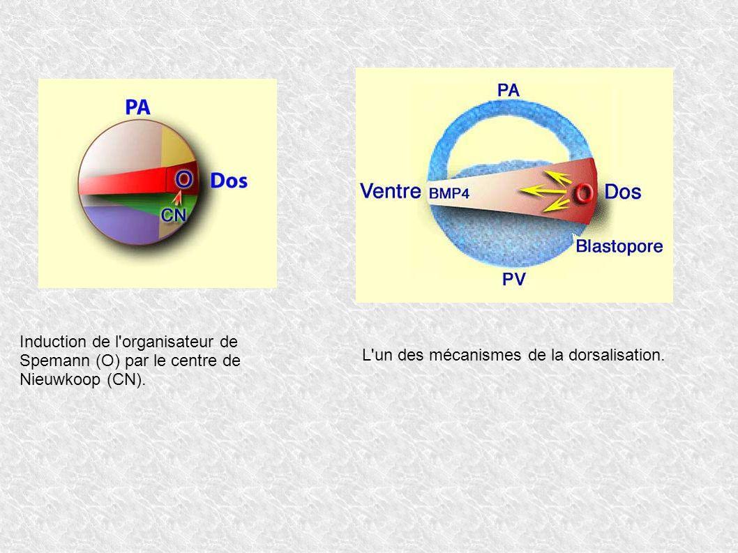 Induction de l'organisateur de Spemann (O) par le centre de Nieuwkoop (CN). L'un des mécanismes de la dorsalisation.