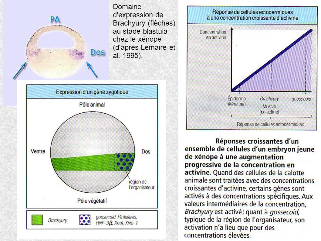 Domaine d'expression de Brachyury (flèches) au stade blastula chez le xénope (d'après Lemaire et al. 1995).