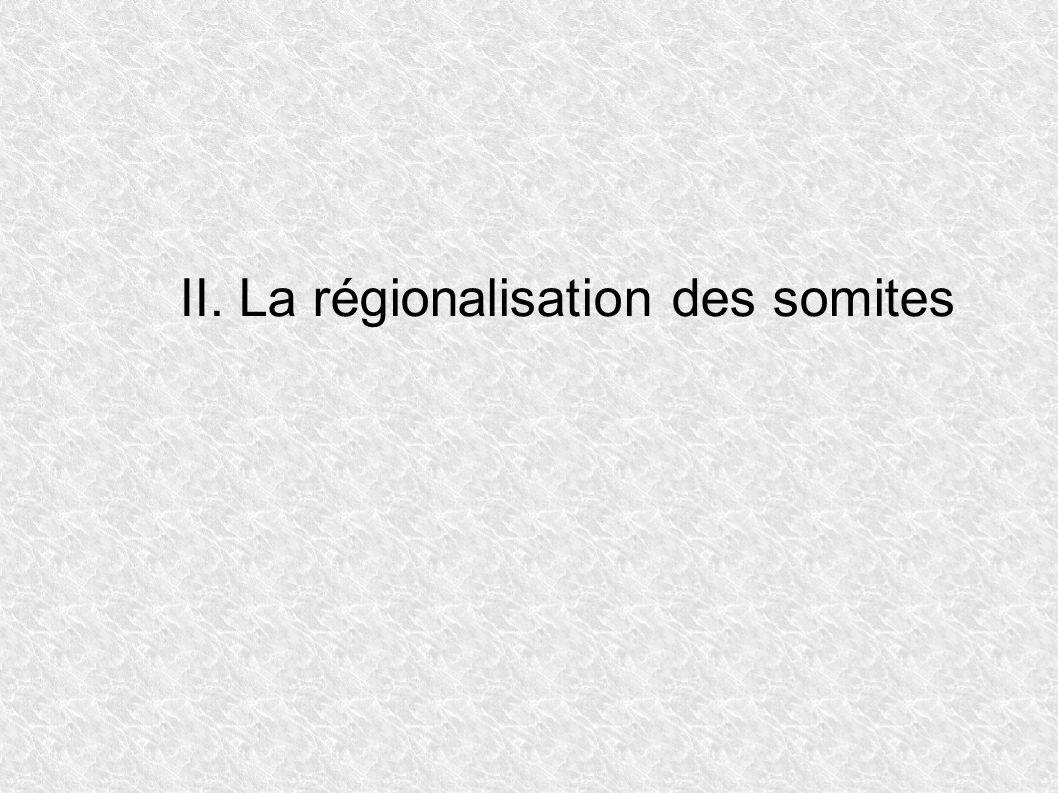 II. La régionalisation des somites