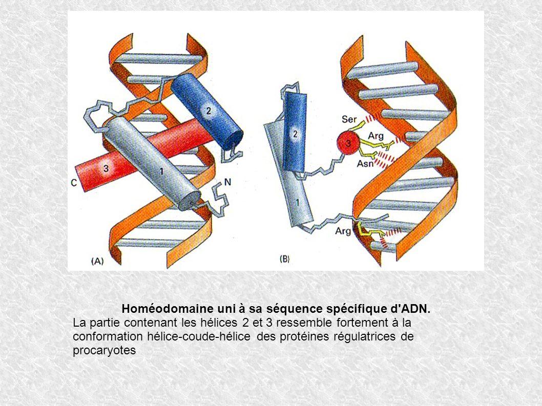 Homéodomaine uni à sa séquence spécifique d'ADN. La partie contenant les hélices 2 et 3 ressemble fortement à la conformation hélice-coude-hélice des