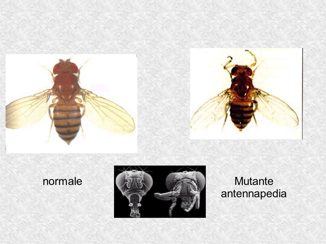 Mutante antennapedia normale