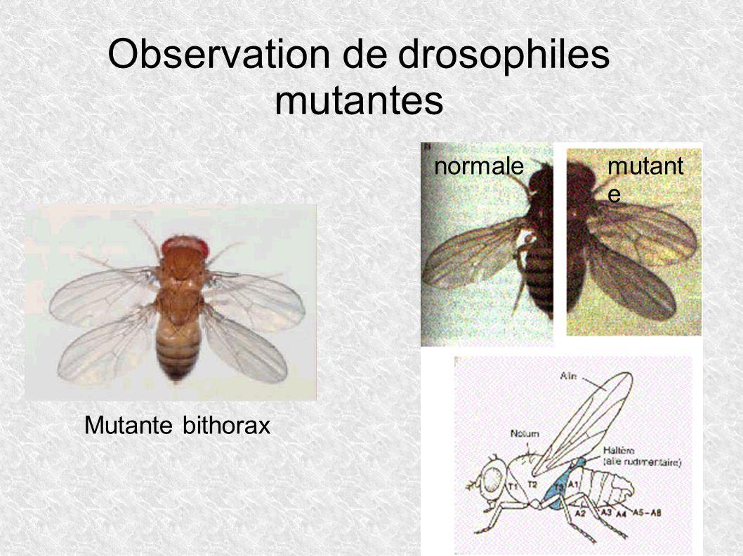 Observation de drosophiles mutantes Mutante bithorax normalemutant e