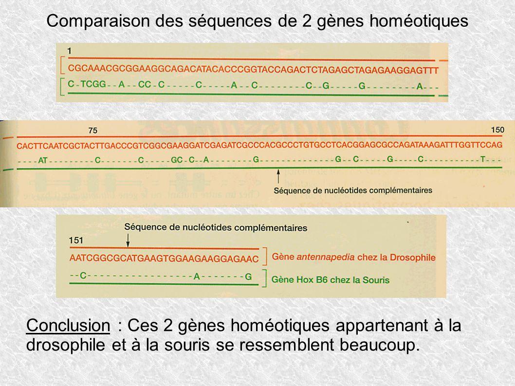 Comparaison des séquences de 2 gènes homéotiques Conclusion : Ces 2 gènes homéotiques appartenant à la drosophile et à la souris se ressemblent beauco