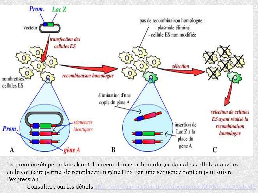 La première étape du knock out. La recombinaison homologue dans des cellules souches embryonnaire permet de remplacer un gène Hox par une séquence don