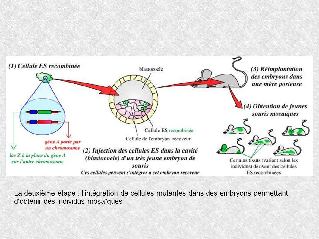 La deuxième étape : l'intégration de cellules mutantes dans des embryons permettant d'obtenir des individus mosaïques