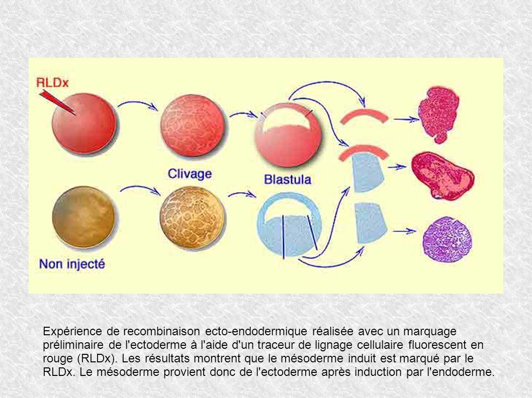 Expérience de recombinaison ecto-endodermique réalisée avec un marquage préliminaire de l'ectoderme à l'aide d'un traceur de lignage cellulaire fluore
