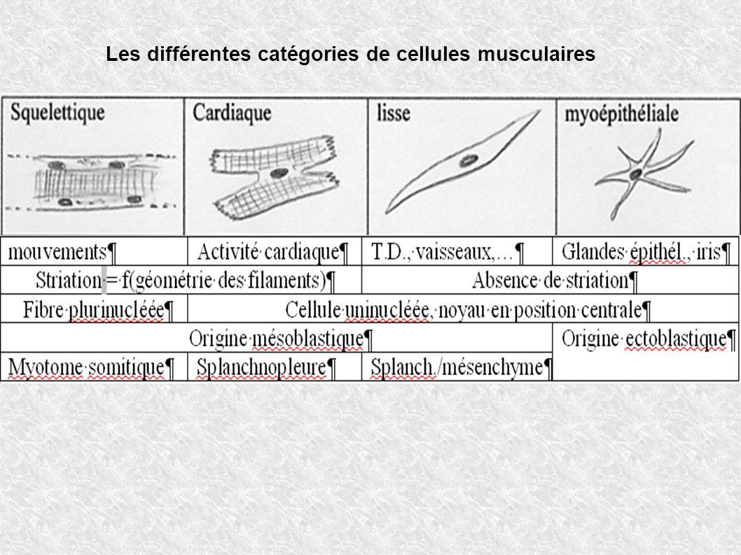 Les différentes catégories de cellules musculaires