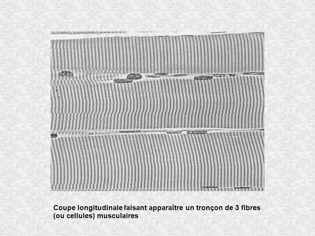 Coupe longitudinale faisant apparaître un tronçon de 3 fibres (ou cellules) musculaires