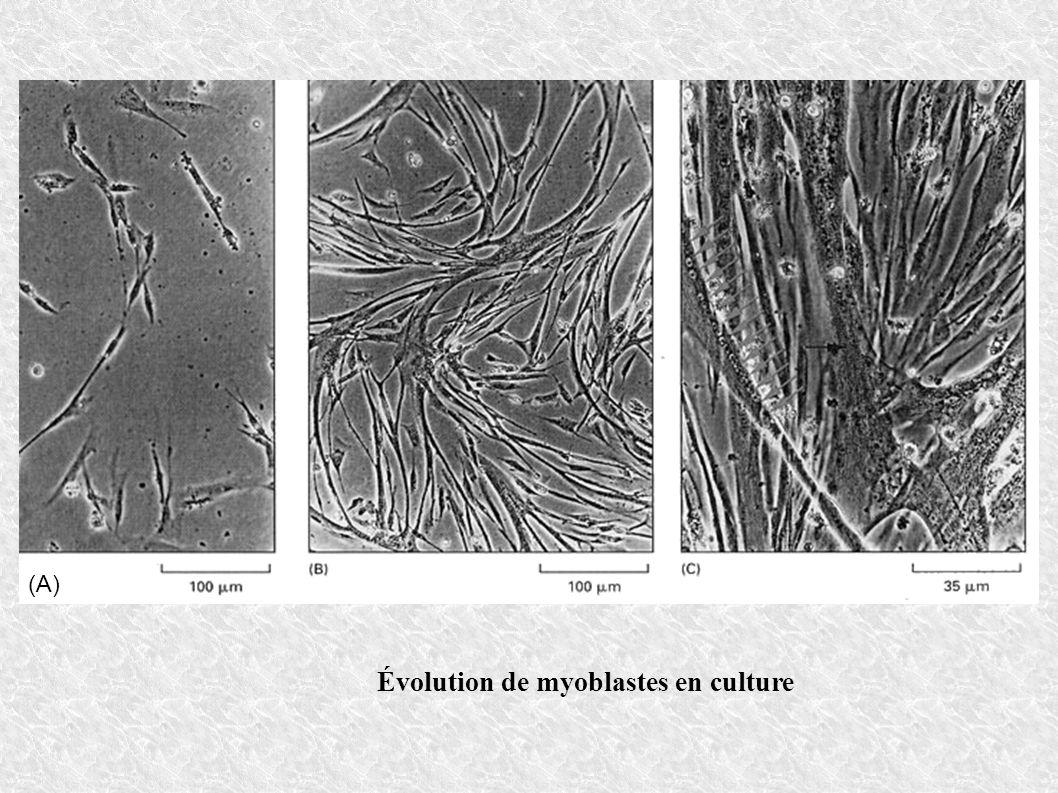 Évolution de myoblastes en culture (A)