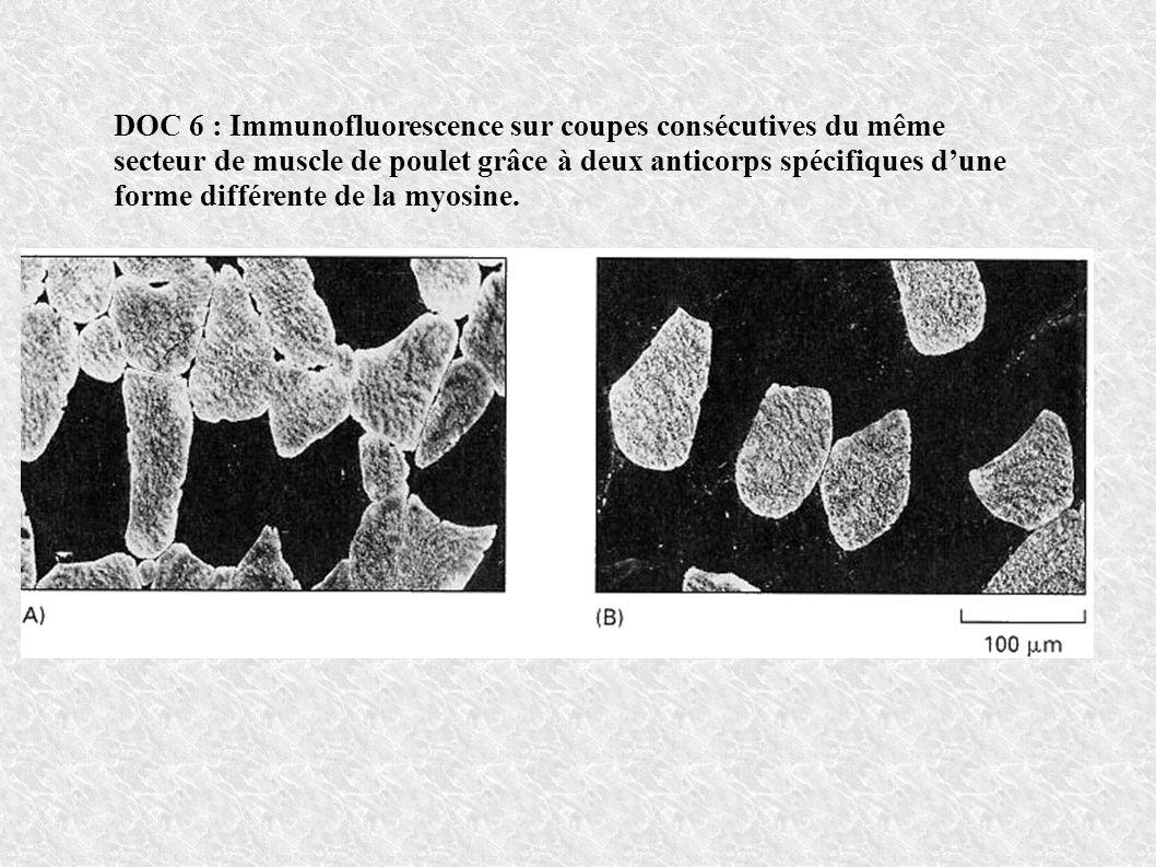 DOC 6 : Immunofluorescence sur coupes consécutives du même secteur de muscle de poulet grâce à deux anticorps spécifiques dune forme différente de la