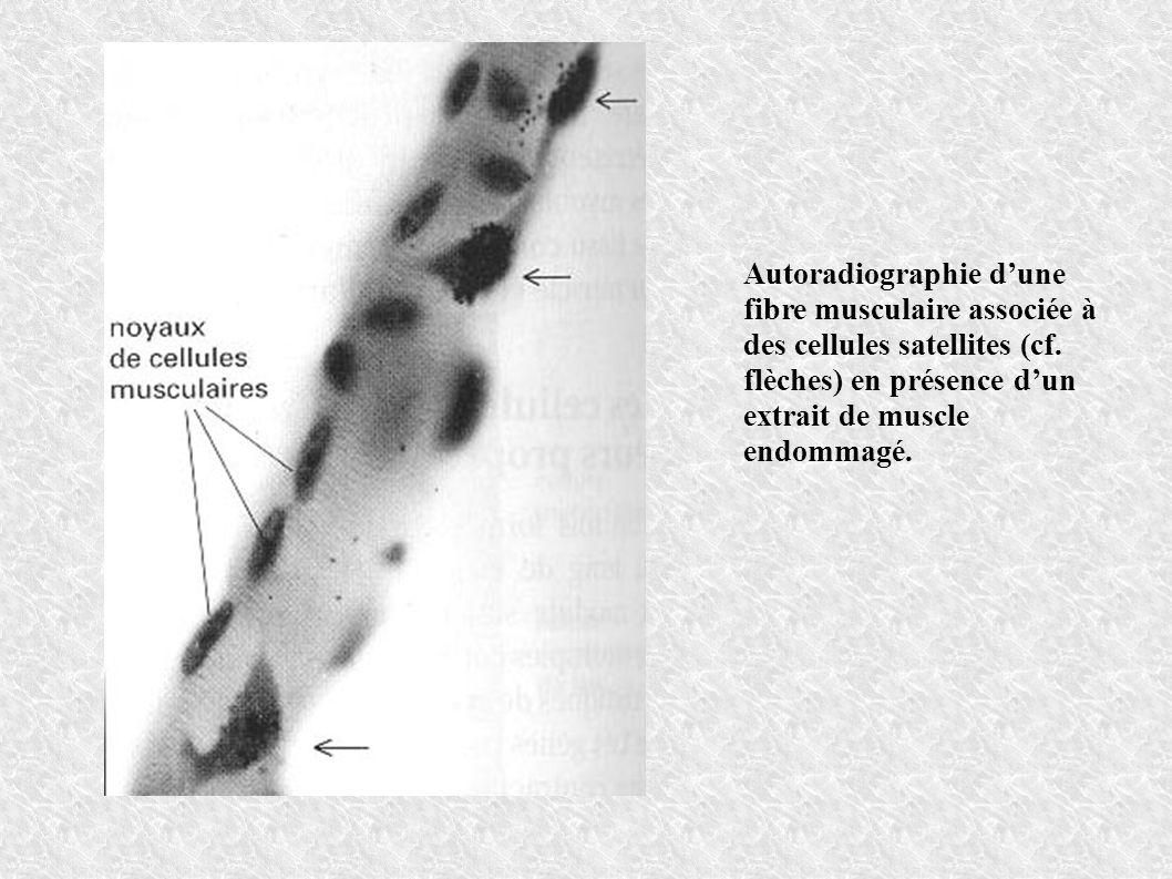 Autoradiographie dune fibre musculaire associée à des cellules satellites (cf. flèches) en présence dun extrait de muscle endommagé.