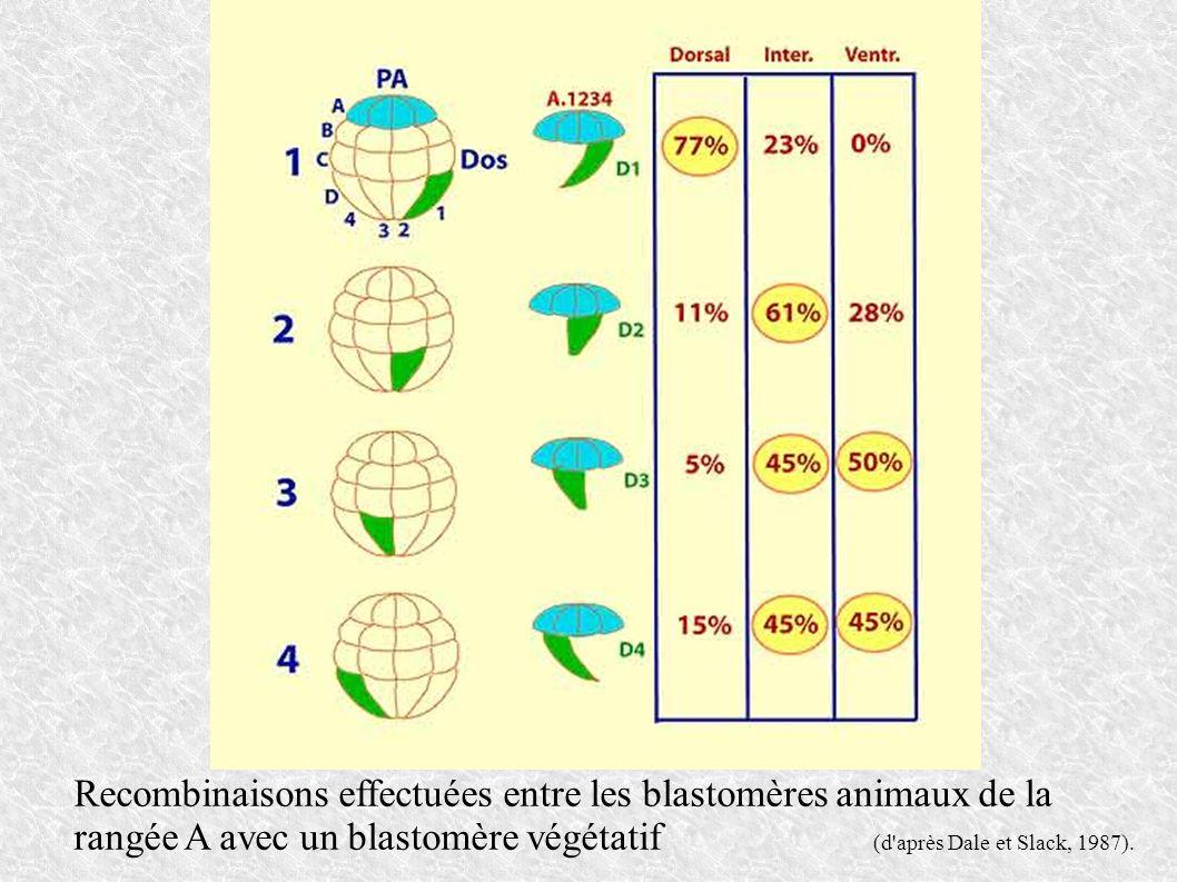 Recombinaisons effectuées entre les blastomères animaux de la rangée A avec un blastomère végétatif (d'après Dale et Slack, 1987).