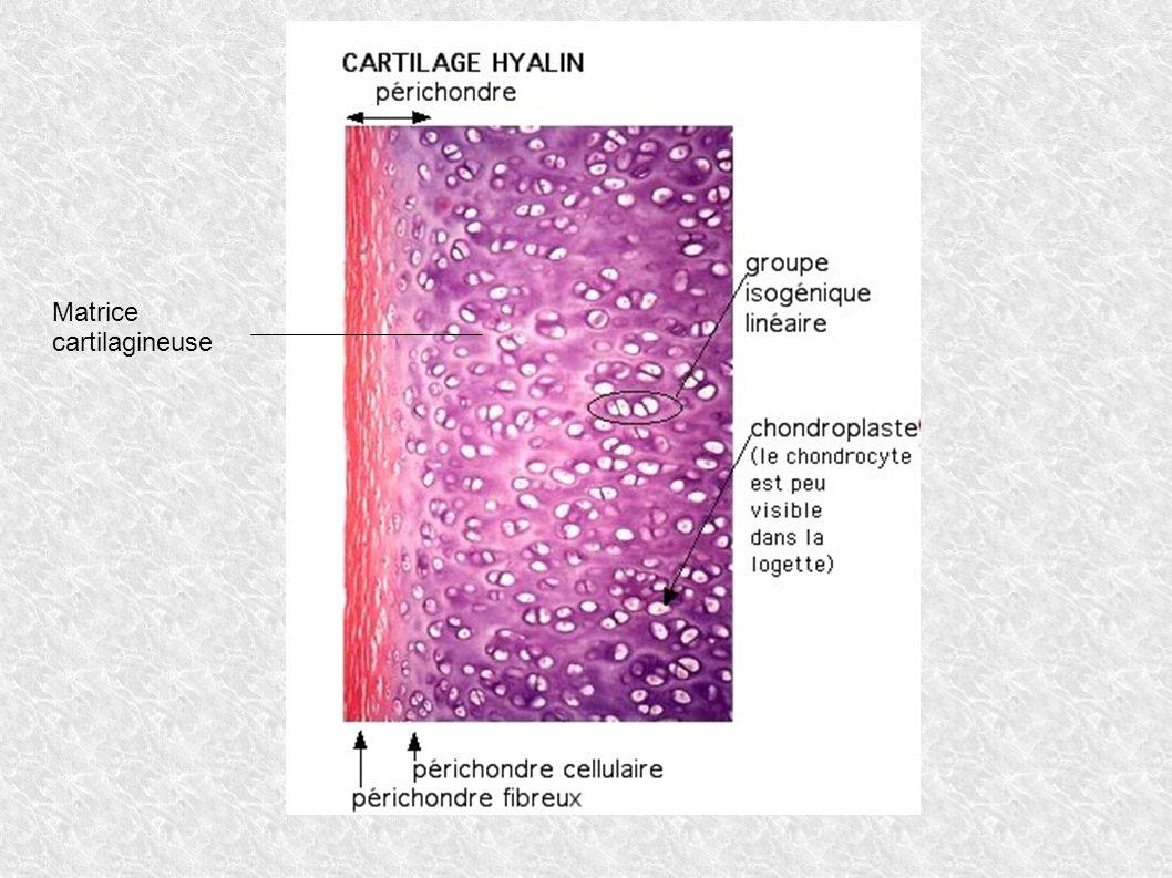 Matrice cartilagineuse