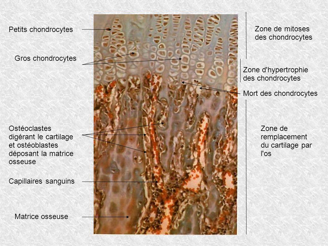 Zone de mitoses des chondrocytes Petits chondrocytes Zone d'hypertrophie des chondrocytes Mort des chondrocytes Gros chondrocytes Zone de remplacement