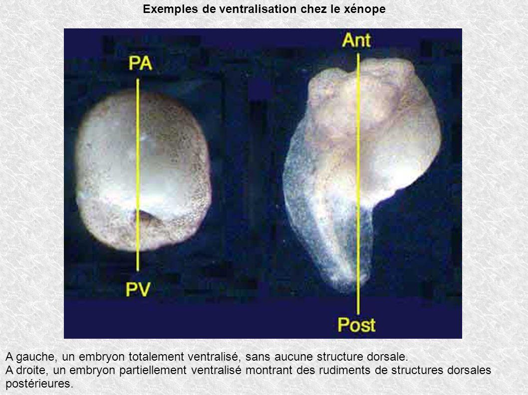 A gauche, un embryon totalement ventralisé, sans aucune structure dorsale. A droite, un embryon partiellement ventralisé montrant des rudiments de str