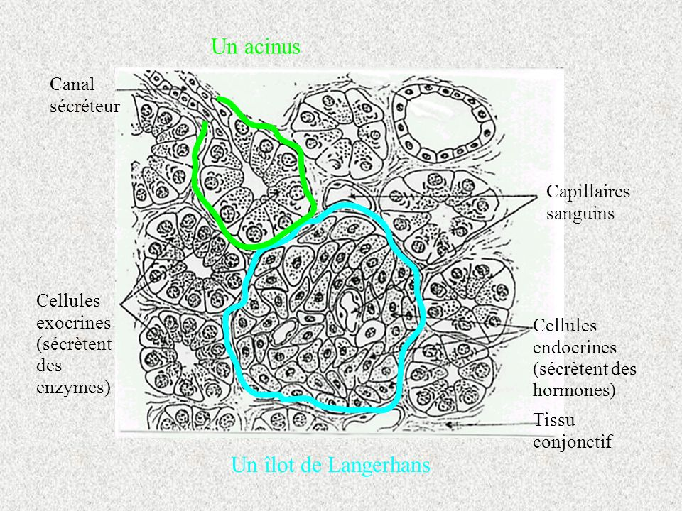 Un acinus Un îlot de Langerhans Cellules endocrines (sécrètent des hormones) Tissu conjonctif Capillaires sanguins Canal sécréteur Cellules exocrines