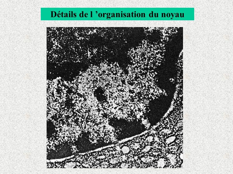 Détails de l organisation du noyau