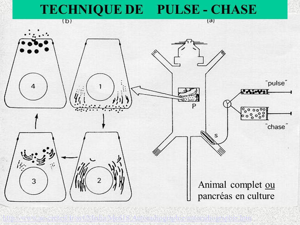 TECHNIQUE DE PULSE - CHASE Animal complet ou pancréas en culture http://www.ac-creteil.fr/svt/Media/Med1S/Autoradiographie/autoradiographie.htm