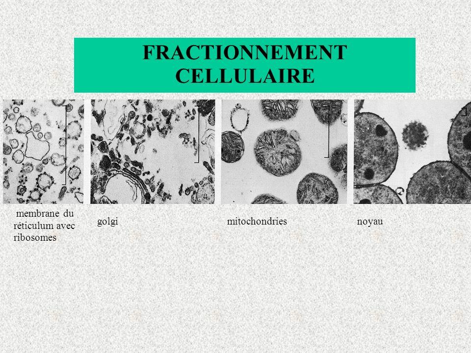 membrane du réticulum avec ribosomes golgimitochondriesnoyau